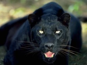 Black Jaguar Smaller
